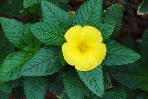 Planta Damiana | Para que serve, Propriedades e Efeitos colaterais